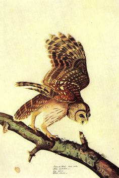 james audubon paintings on fb | Double click on above image to view full picture