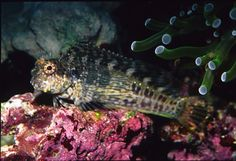 Known for their algae-eating abilities, blennies of the genus Salarias can make outstanding reef residents provided certain basic requirements are met. The master reefkeeper explains how you can add these blennies to your own setup.