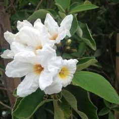 Cordia boissieri at San Marcos Growers