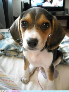 I love beagles.  Hope to have one someday.