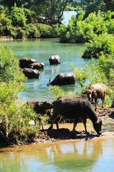 Laos || Don Det - Waterbuffels