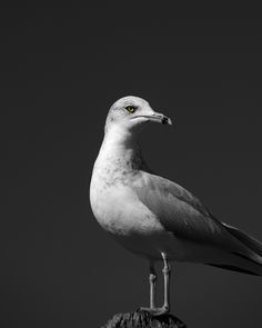 "Photo ""Blackandwhitegull"" by prairiem.  Adore Noir contest.  #photography  #birds"