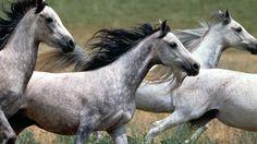 arabian-horse-animals-horses-running-1920x1080-wallpaper.jpg (JPEG Image…