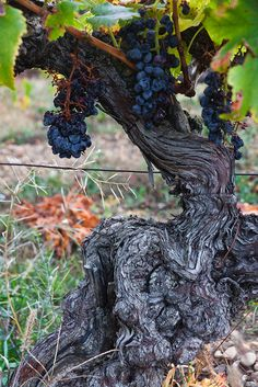 Grapes from old vines