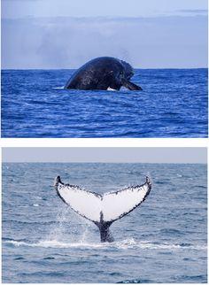 Bailam as baleias-jubarte na costa da Bahia - Xapuri