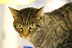 Tiger has beautiful markings just like a Tiger! He is a sweet cat and is about 2 years of age. He seems to be litter box trained and is a curious cat.When calling or emailing about an animal, please be sure to use the animal identification number...