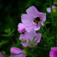 Floks i grøftekant ved Glamsbjerg #visitdenmark #visitfyn #fyn #nature #nature_perfection #naturelovers #mothernature #natur #denmark #danmark #dänemark #landscape #assensnatur #assens #mitassens #vildmedfyn #fynerfin #vielskernaturen #visitassens #instapic #picoftheday #nofilter #summer2016 #sommer #igdenmark