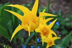 'Westpoint' lily-flowered tulips