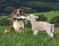 Spaniel geeft schaap te eten (© Richard Austin / Rex Features)