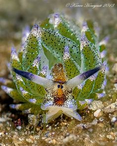 Costasiella usagi are sea slugs that live near Okinawa, Singapore, and the Philippines, eating a diet of green algae.