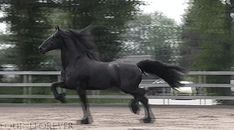 wow look at that extended trot! Friesian gif. I could watch all day!!