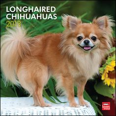 Longhaired Chihuahuas Wall Calendar: The Chihuahua is the smallest dog breed in the world. They get their name from the desert state of northern Mexico.  $14.99  http://calendars.com/Chihuahuas/Longhaired-Chihuahuas-2013-Wall-Calendar/prod201300004525/?categoryId=cat10126=cat10126#