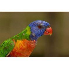 Rainbow Lorikeet bird Queensland Australia Canvas Art - Pete Oxford DanitaDelimont (36 x 24)