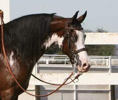 WA Outrageous+/ US National top 10. She sadly passed away but was one of the nicest sabino arabians out there.