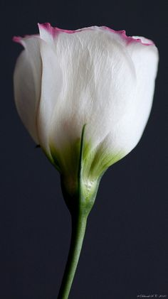 A Delicate Lisianthus Flower