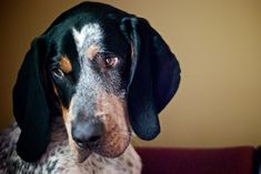 The Bluetick Coonhound                                                       …