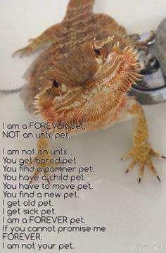 It bothers me so much when people buy bearded dragons for their children! They require too much work. Vet visits, special lighting, vitamins, multiple baths a week, tons of living bugs and fresh veggies. Bearded Dragon Funny, Bearded Dragon Diet, Animals For Kids, Cute Baby Animals, Funny Animals, Funny Pets, Lizard Dragon, Pet Dragon, Bearded Dragon Enclosure