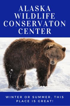 I highly recommend the Alaska Wildlife Conservation Center is a great place to see wildlife. Located in Girdwood, Alaska. Just a short drive from Anchorage! Girdwood Alaska, Anchorage Alaska, Alaska Winter, Winter Fun, Alaska National Parks, Alaska Salmon, Alaska Travel, Alaska Trip, North To Alaska