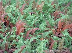 Hay Scented Fern
