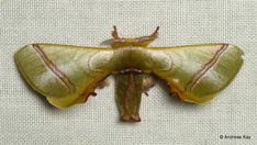 https://flic.kr/p/G85mPn | Silkworm Moth, Epia casnonia? Bombycidae | ID by Claudio Flamigni from Ecuador: www.flickr.com/andreaskay/albums