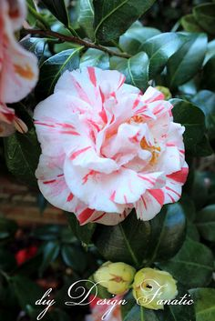 I got some of these from a friend's yard --  lovely Peppermint Camelias