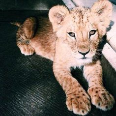 Image about cute in Animals🐾 by steora on We Heart It Cute Creatures, Beautiful Creatures, Beautiful Cats, Animals Beautiful, Cute Baby Animals, Animals And Pets, Tier Wolf, Exotic Pets, My Animal
