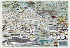 Freshwater Fish of America poster: 900 freshwater aqua-fauna small and large, from minute minnows to sizable sturgeons ...  The Freshwater Fish of America poster is printed on 39-inch x 27-inch, 100-lb. archival stock. It's certified by The Forest Stewardship Council and pressed in Long Island City with vegetable-based inks