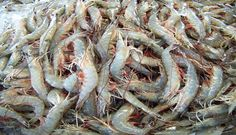 North Carolina Shrimp - Summer seafood on the Outer Banks - buy it straight off the boat! Local Seafood, Fish Farming, Small Island, Beautiful Landscapes, North Carolina, Shrimp, Places To Go, Family Trips, Beach Stuff
