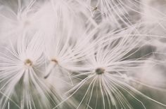 Daydream (floating thistle seeds). #thistleseed #floating #daydream #macro #milkthistle #dreamy #macro #plants #flower #flowersofinstagram #macrophotography #nature #naturephotography #nikon #nikonphotography #natureart #art by stacyproulx