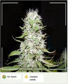Hawaii Skunk  - Amsterdam marijuana seeds