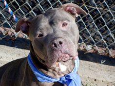 SAFE 10/29/14 Manhattan Center   My name is PEARL. My Animal ID # is A1018320. Pulled by Waggin Train Rescue Please honor your pledges: http://www.waggintrainrescue.org/donation.php?title=Donate  I am a female gray and white pit bull mix. The shelter thinks I am about 5 YEARS old.  I came in the shelter as a STRAY on 10/21/2014 from NY 10453, owner surrender reason stated was STRAY.  https://www.facebook.com/photo.php?fbid=894708403875373.