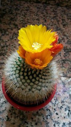 Rare Flowers, Exotic Flowers, Amazing Flowers, Succulent Terrarium, Cacti And Succulents, Planting Succulents, Cactus Planta, Cactus Y Suculentas, Desert Flowers