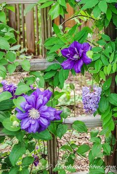 Clematis is a flowering vine that is perennial and grows in part shade. It has such beautiful flowers and is easy to grow making it a great plant for landscaping. Find out more about how to grow and prune Clematis, as well as some of the best varieties. Clematis Care, Blue Clematis, Clematis Trellis, Climbing Clematis, Clematis Plants, Autumn Clematis, Clematis Flower, Climbing Roses, Lantana Flower