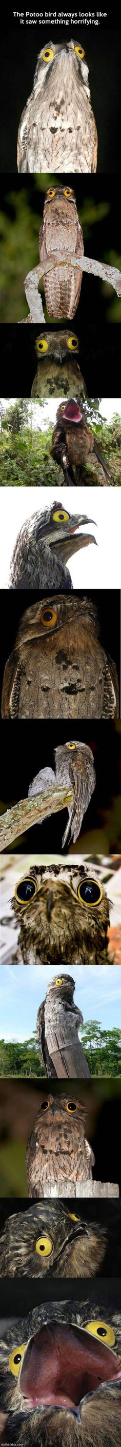 potoo_bird_funny_picture