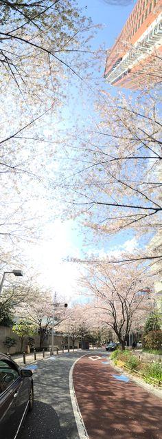 タテのパノラマ楽しい〜〜#Cherry #blossoms in #Japan #Roppongi #RoppongiHills #Tokyo 六本木ヒルズの桜