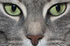 Cómo cuidar a un gato común europeo          El gato común europeo, mucho más conocido por el nombre de gato callejero, es el único miembro de la familia de los felinos que decidió empezar una relación con nosotros, los humanos. Sin embargo y lamentablemente, a día de hoy es,