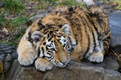 A tired tiger cub in Duisburg is taking a break from playing. (I think this is Makar, let me know if I am mistaken) Cute Funny Animals, Cute Baby Animals, Wild Animals, Bear Cubs, Grizzly Bears, Tiger Cubs, Tiger Tiger, Beautiful Cats, Animals Beautiful