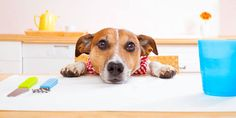 Photo about Jack russell dog sitting at table begging to eat , tablecloths included. Image of dish, feed, menu - 47038360 Hamsters, Dog Stock Photo, Jack Russell Dogs, Food Recalls, Pet Dogs, Pets, Dog Poster, Can Dogs Eat, Dry Dog Food