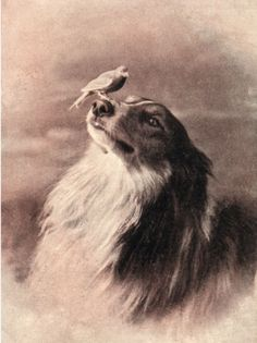 ROUGH COLLIE WITH CANARY ON HIS NOSE