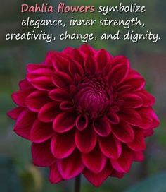 Dahlia Flower: Meaning and Interesting Facts