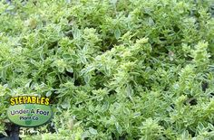 Herniaria Sea Foam Rupturewort Green Carpet - groundcover for pathways, borders, around fl. Yellow Carpet, Dark Carpet, Modern Carpet, Wool Carpet, Carpet Diy, Carpet Tiles, Red Persian Rug, Persian Carpet, Gardens