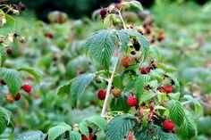 Natural Remedies, Strawberry, Christmas Ornaments, Fruit, Holiday Decor, Plants, Paradis, Sport, Medicine