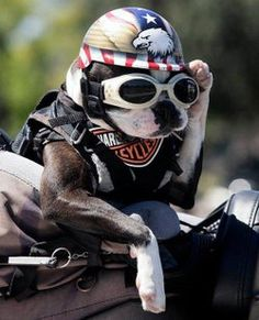Chopper The Biker Dog! *love* he's on Facebook, too.