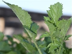 Black Mustard: This black variety produces small dark seeds that are used as a spice; the spicy leaves are edible too. It also makes tasty seedling sprouts. This plant is native to the Mediterranean where it has been grown for thousands of years.