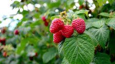 ettől jobb ötlet nem is kell azoknak, akik imádják a málnát. Ripe Fruit, Fresh Fruit, Compost, Ginger Ale Drinks, Raspberry Bush, Raspberry Recipes, In Season Produce, Plantar, Easy Garden