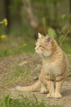 Sand cat or Sand Dune Cat.  It is a relatively small cat.  It is the only cat that lives in the true desert.  They are usually found in Northern Africa or Southwest or Central Asia!