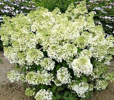 BoBo Hydrangea adds beauty to any garden.