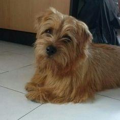 My sweet Norfolk Terrier ♡