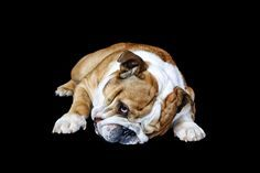 53 best images about Bulldog on Pinterest