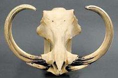 Common Warthog (Phacochoerus africanus) skull with extraordinary tusks
